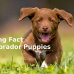 interesting_fact_about_labrador_puppies